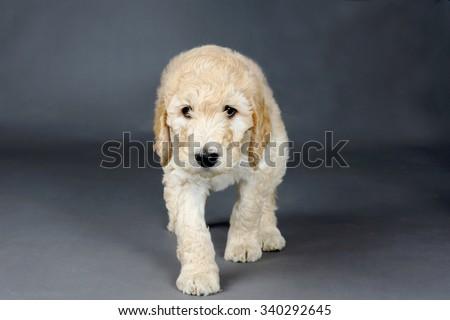 Sad face goldendoodle pup - stock photo