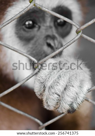 Sad gibbon behind the Cage Gibbon hand. - stock photo