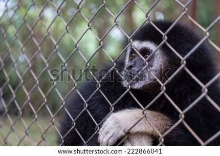sad  gibbon behind the Cage in the park - stock photo