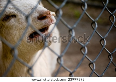 Sad goat bleating within fenced area