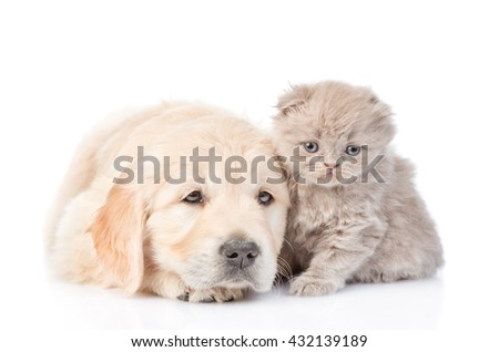 Sad golden retriever puppy and tiny kitten lying together. isolated on white background - stock photo