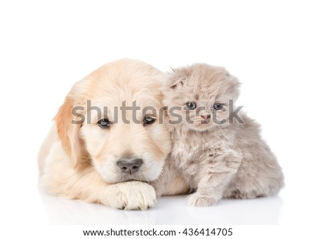 Sad golden retriever puppy and tiny kitten together. isolated on white background - stock photo
