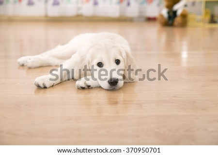 Sad golden retriever puppy lying on the floor - stock photo
