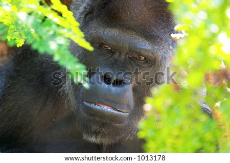 Sad gorilla - stock photo