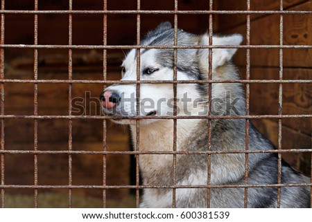 Sad husky dog locked in a cage in breeding kennel