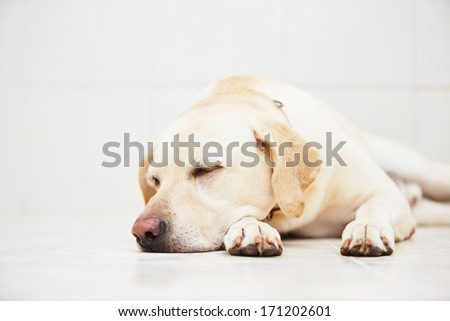 Sad labrador retriever is lying down on floor. - stock photo