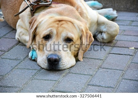 Sad labrador waiting for the host - stock photo