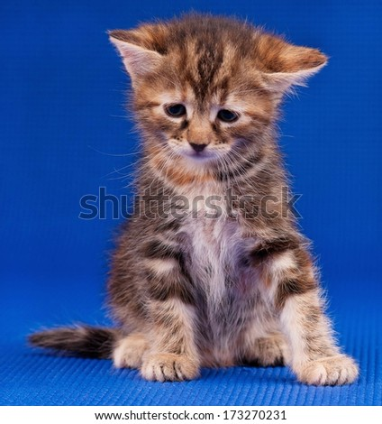 Sad little kitten sits, having hung the head on blue background - stock photo