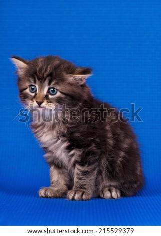 Sad little siberian kitten over blue background - stock photo