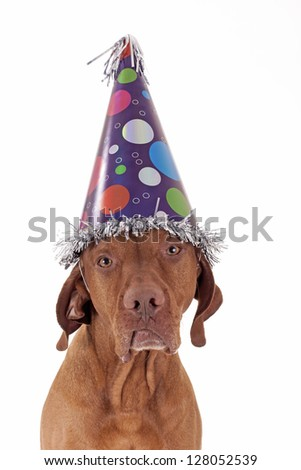 sad lonely golden dog with party hat on white background - stock photo