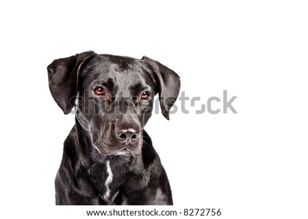sad looking black and isolated dog