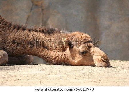 Sad Looking Camel With Head on the Ground - stock photo