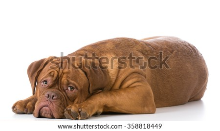 sad looking dogue de bordeaux puppy laying down on white background - stock photo