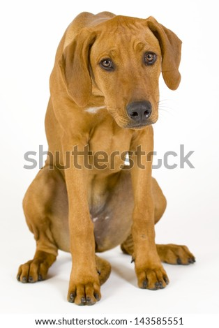 Sad looking Rhodesian Ridgeback hound dog. Image taken in front of white background. The female dog is looking depressed and full of fear. 5 month old pet. - stock photo