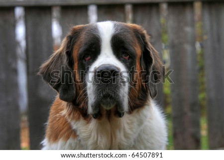 Sad looking St. Bernard dog - stock photo