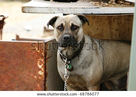 Sad mastiff cross guard dog looking out from his old kennel - stock photo