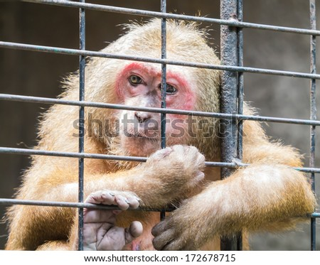 Sad monkey jailed behind the fence looking for someone's help