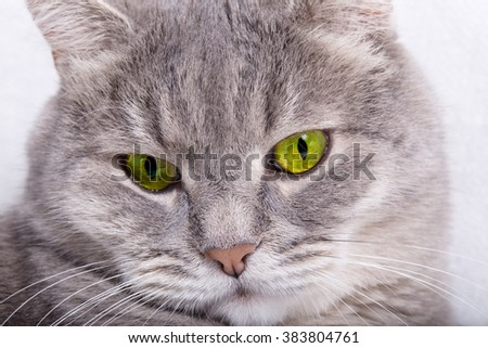 Sad muzzle of a gray cat. Light background, close up, small depth of sharpness, free space on the right
