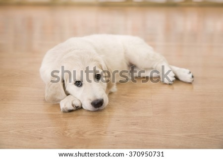 Sad of golden retriever puppy lying on the floor - stock photo