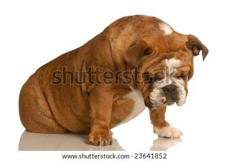 sad or depressed english bulldog sitting isolated on white background