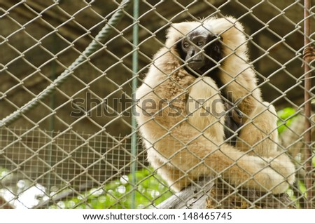 Sad Pileated gibbon ( Hylobates pileatus )sit and  looking out through the cage - stock photo