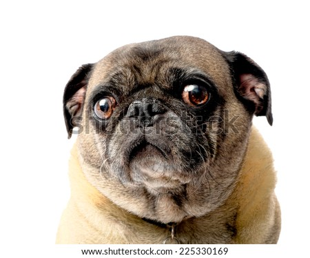 Sad Pug Dog on a White Background - stock photo