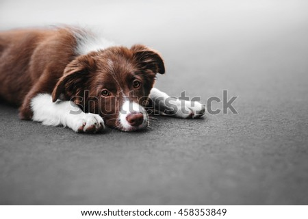 Sad Puppy border collie lying on the pavement
