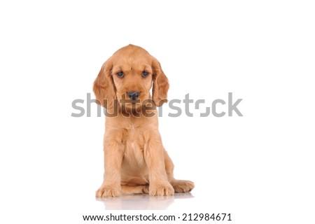 sad puppy dog isolated over white background - stock photo