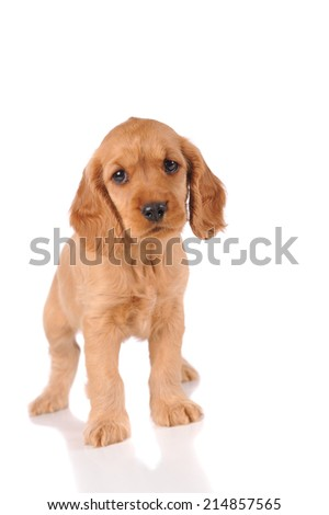 sad puppy dog isolated over white background