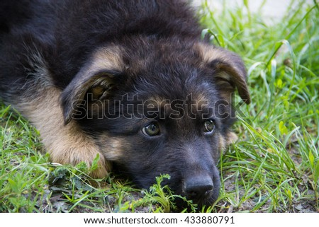 Sad Puppy German Shepherd - stock photo