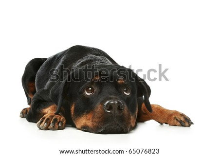 Sad Rottweiler lies on a white background