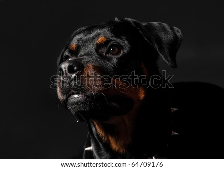 sad rottweiler portrait - stock photo
