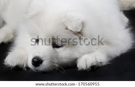 Sad Samoyed puppy (on a black background) - stock photo