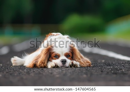 Sad spaniel on a treadmill - stock photo