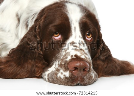 Sad Springer Spaniel lying on a white background - stock photo