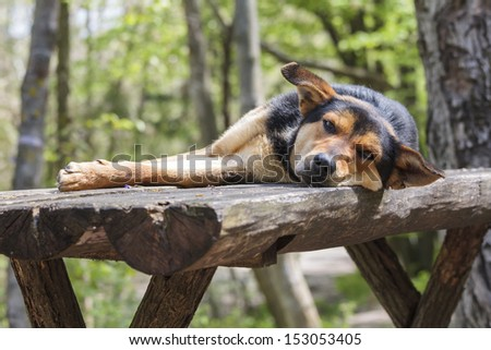 Sad stray hungry dog sleeping on wooden table in the woods. - stock photo