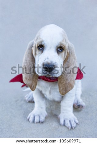 Sad tan and white Basset Hound puppy wearing red bandana scarf - stock photo
