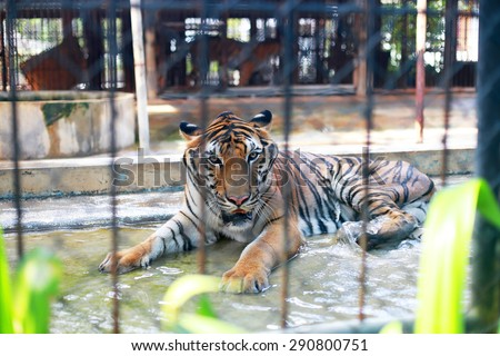 Sad tiger in the cage - stock photo