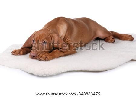 Sad Vizsla puppy on a white background - stock photo