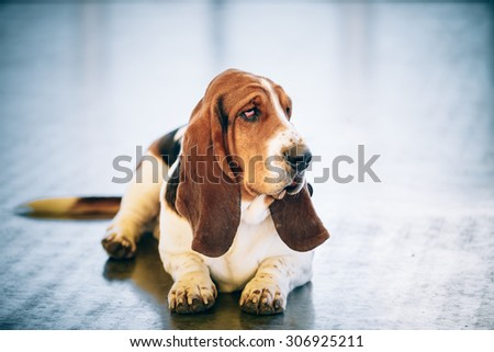 Sad White And Brown Basset Hound Dog Sit On Floor - stock photo