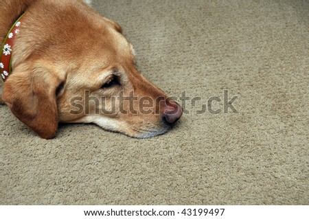 Sad Yellow Lab Laying On Carpet. Copy space on the right side. - stock photo