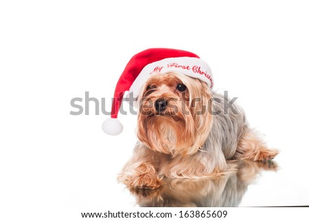 sad yorkie waiting for christmas