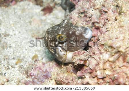 Saddle back toby Canthigaster valentini - stock photo