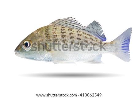 Saddle grunt , Javelin grunter fish/spotted fish isolated on white background  - stock photo