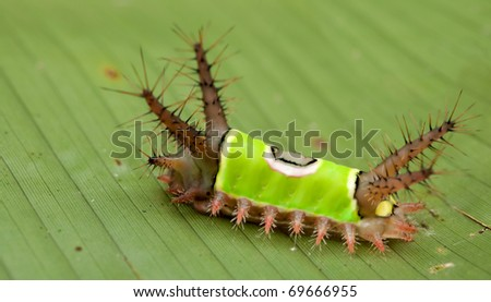 saddleback caterpillar - stock photo