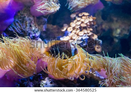 Saddleback clownfish (Amphiprion polymnus) - stock photo