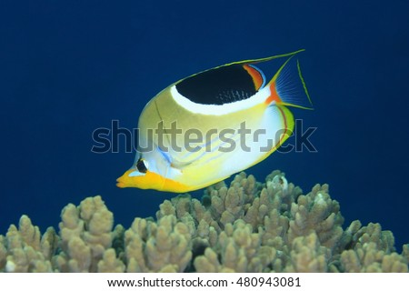 Saddled Butterflyfish, Chaetodon ephippium, swimming over coral reef with a deep blue water background.