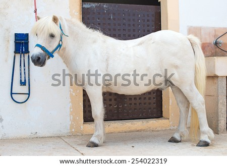 Saddled white pony near the stable. - stock photo