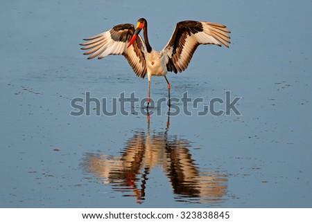 Sadle-billed stork (Ephippiorhynchus senegalensis), Kruger National Park, South Africa - stock photo