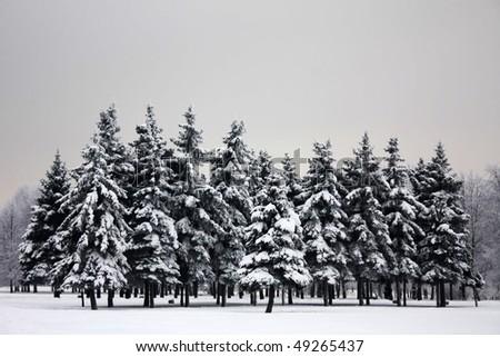 Sadness dark fir-trees in winter - stock photo